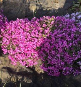 Флокс шиловидный, многолетник для альпинария