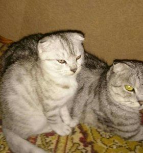 Котята от шотландской вислоухой