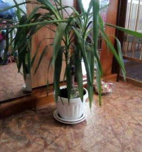 Цветок Yucca