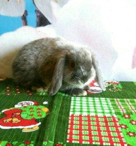 Самец вислоухий крольчонок