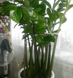 Замиокулькас (доллоровое дерево)