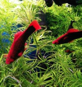 Меченосец черно-рубиновый