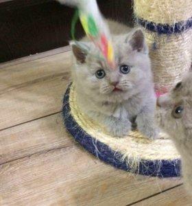 Шотландские лиловые котята