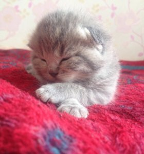 Вислоухие и Прямоухие котятки