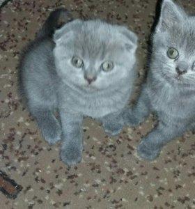 Продам очаровательных британских котят