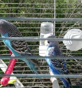 попугаи.волнистые.
