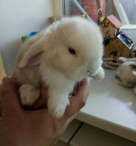 Декоративные вислоухие кролики (барашки)