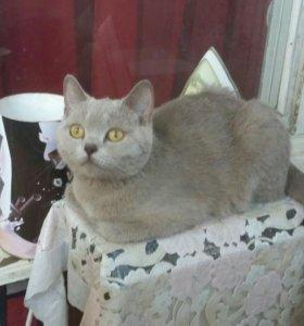 Кошечка британская.