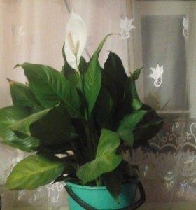 Цветок Спатифиллум(женское счастье)