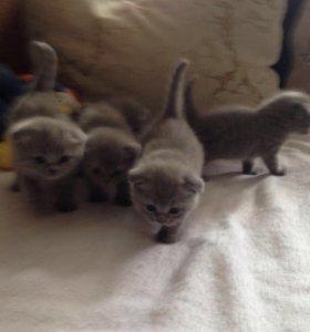 Продаю котят шотландской породы