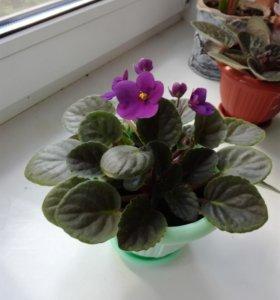 Фиалка, цветок