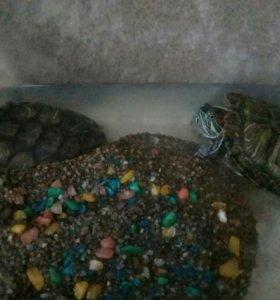 Красноухие черепахи,(мальчик, девочка)