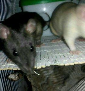 Отдам в добрые руки крыс 4 месяца