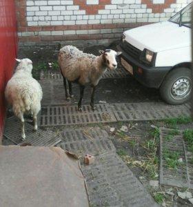 Продается племеная овца