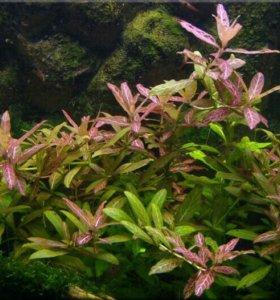 Неприхотливые аква растения