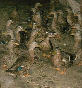 Подсадные рабочие утки.
