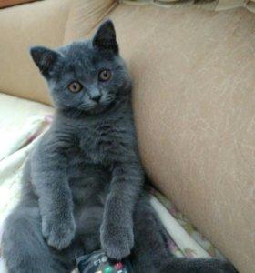 Шотландец котик