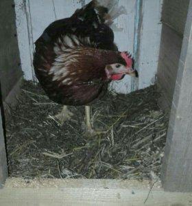 Яйца от домашних курочек