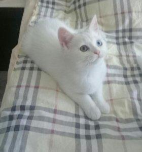 Разноглазый шотландский белый котик с документамт