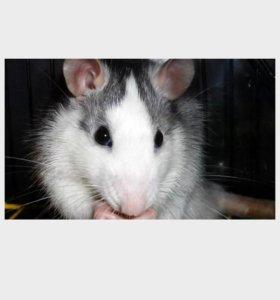 Домашние крыски