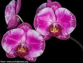 Орхидея фаленопсис Formosa