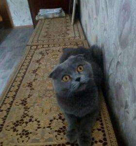Котёнок породистый британка вислоухая