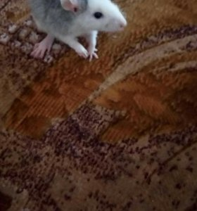 Отдаю крысят.