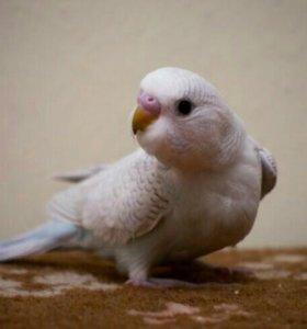 Волнистые попугаи!