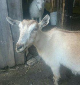 Продаётся безрогая коза