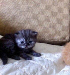 Продам Элитных Персидских котят.