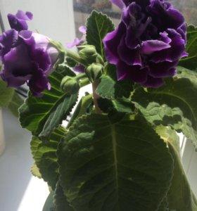 Цветок глоксиния