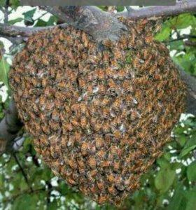 Сниму пчелиный рой