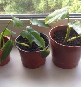 Филодендрон ампельное комнатное растение