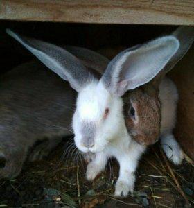 Домашние кролики на мясо и на племя(великаны)