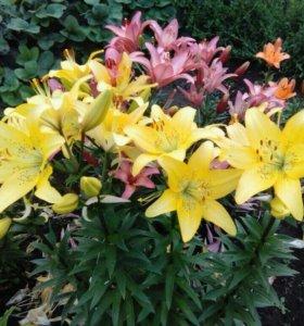 Галандские Лилии сортовые на цвету