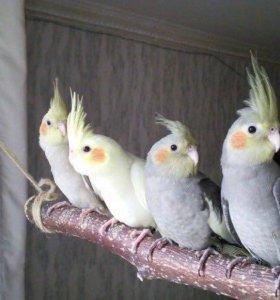 Ручные птенцы корелл