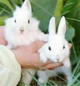 Кролики колефорниские