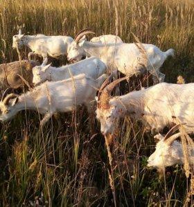 продаются дойные козы.