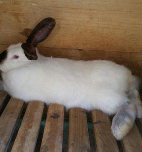 Продам кролика калифорнийского
