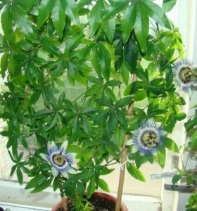 Пассифлора ( маракуйя, страстоцвет ) съедобная