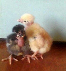 Голошейные цыплята франция