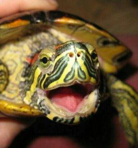 Красноухие черепахи взрослые 2 шт.