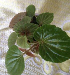 Цветы комнатные растения Бегония