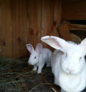Кролики мясо . Живых . Без добавок . Сами разводим