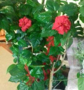Гибискус. Китайская роза