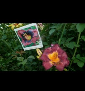 Многолетники.Цветы в саду.Лилейник.Редкий сорт.