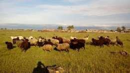 Продам табун овец