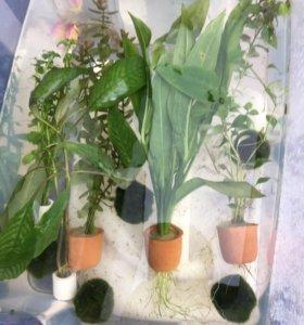 Растения аквариумные в ассортименте
