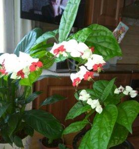 Цветы(невинная любовь)) клеродендрум томпсона