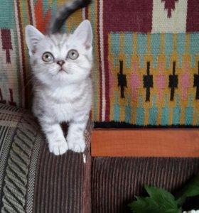 Продаются шотланские котята